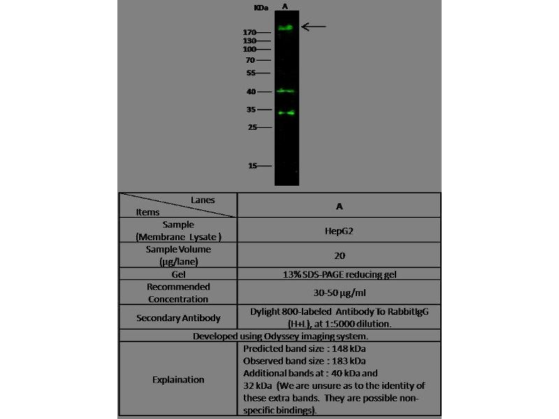 Western Blotting (WB) image for anti-V-Erb-B2 Erythroblastic Leukemia Viral Oncogene Homolog 3 (Avian) (ERBB3) (AA 1-643) antibody (ABIN1996033)