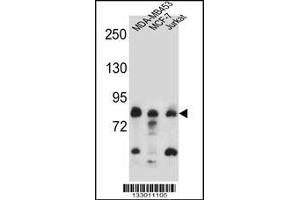 Western Blotting (WB) image for anti-AFG3L2 antibody (AFG3 ATPase Family Gene 3-Like 2 (S. Cerevisiae)) (AA 52-80) (ABIN657143)