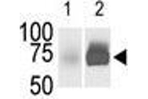 Image no. 2 for anti-Sphingosine Kinase 2 (SPHK2) (C-Term) antibody (ABIN359441)