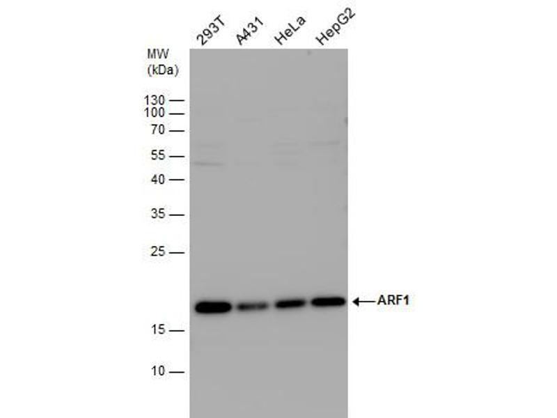 Western Blotting (WB) image for anti-ADP-Ribosylation Factor 1 (ARF1) (Center) antibody (ABIN2856896)