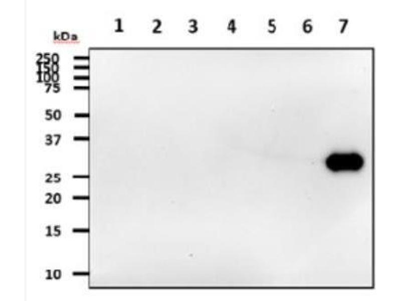 Western Blotting (WB) image for anti-tyrosine 3-Monooxygenase/tryptophan 5-Monooxygenase Activation Protein, theta Polypeptide (YWHAQ) (AA 1-245) antibody (ABIN449751)