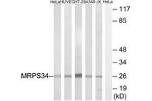 Image no. 1 for anti-Mitochondrial Ribosomal Protein S34 (MRPS34) (AA 169-218) antibody (ABIN1535028)