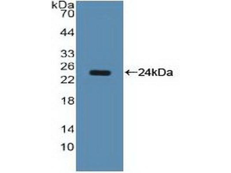 Western Blotting (WB) image for anti-Nucleolin (NCL) (AA 388-569) antibody (ABIN2917925)