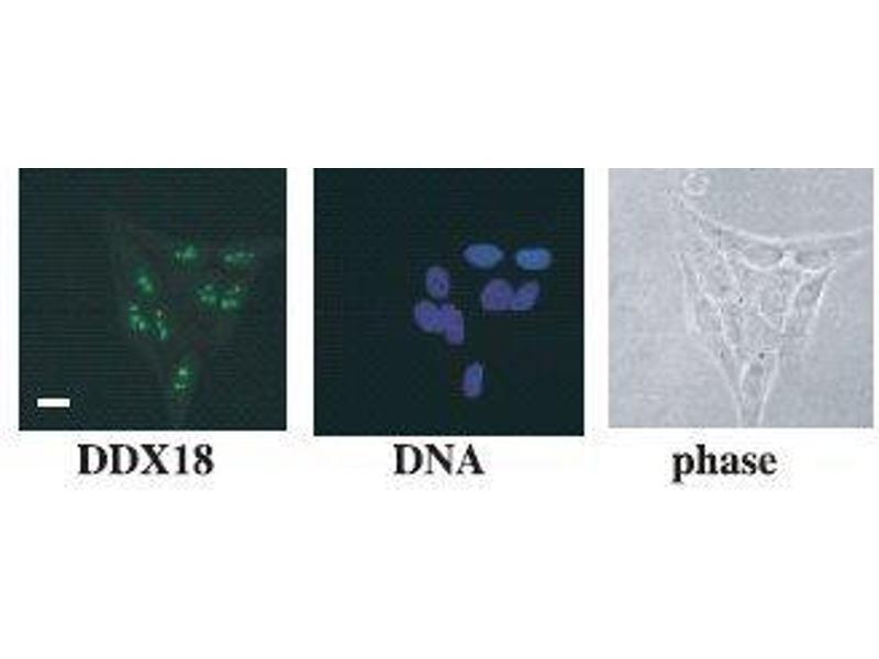 Immunofluorescence (IF) image for anti-DEAD (Asp-Glu-Ala-Asp) Box Polypeptide 18 (DDX18) antibody (ABIN2451946)