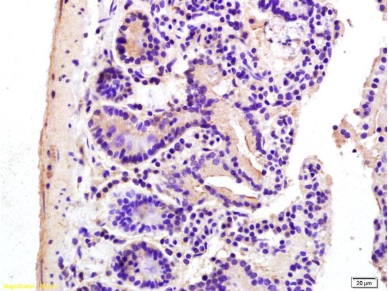 Immunohistochemistry (IHC) image for anti-Adenylate Cyclase 7 (Adcy7) (AA 905-955) antibody (ABIN751213)