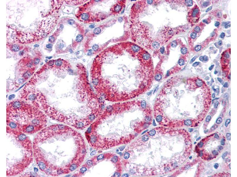 Immunohistochemistry (IHC) image for anti-Potassium Voltage-Gated Channel, KQT-Like Subfamily, Member 1 (KCNQ1) (N-Term) antibody (ABIN2776085)