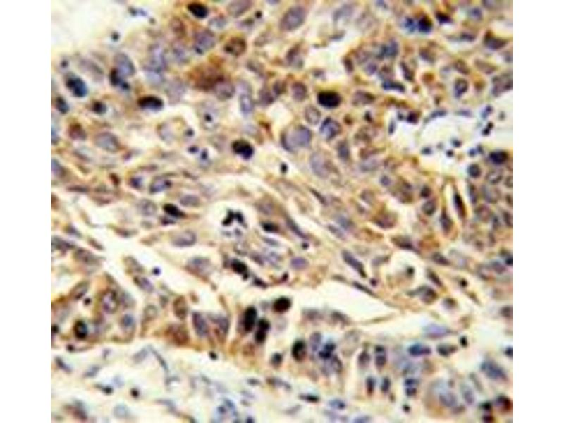 Immunohistochemistry (Paraffin-embedded Sections) (IHC (p)) image for anti-Fibulin 3 (FBLN3) (AA 126-156), (N-Term) antibody (ABIN952326)