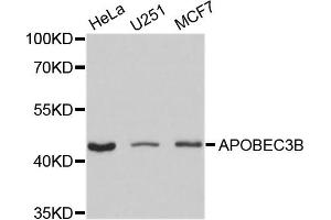 Image no. 1 for anti-Apolipoprotein B mRNA Editing Enzyme, Catalytic Polypeptide-Like 3B (APOBEC3B) antibody (ABIN4902924)