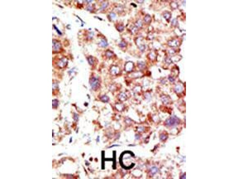 Immunohistochemistry (IHC) image for anti-Neural Precursor Cell Expressed, Developmentally Down-Regulated 8 (NEDD8) (AA 1-32), (N-Term) antibody (ABIN388037)