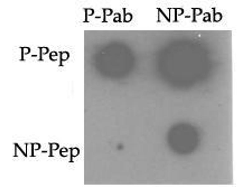 image for anti-TNIK antibody (TRAF2 and NCK Interacting Kinase) (pSer764) (ABIN358244)