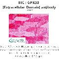 anti-G Protein-Coupled Estrogen Receptor 1 (GPER) (2nd Extracellular Domain) 抗体
