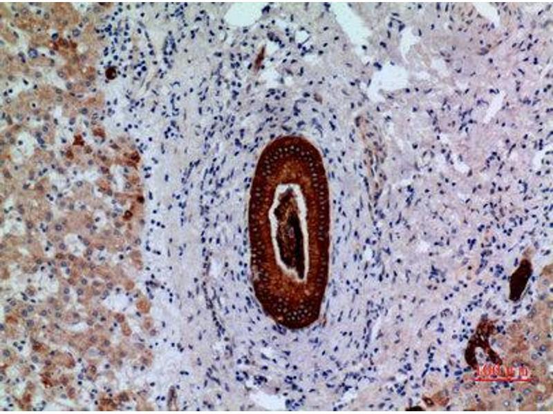 Immunohistochemistry (IHC) image for anti-Protein tyrosine Phosphatase, Receptor Type, J (PTPRJ) (Internal Region) antibody (ABIN3187904)