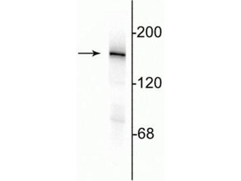 Western Blotting (WB) image for anti-Glutamate Receptor, Ionotropic, N-Methyl D-Aspartate 2a (GRIN2A) (C-Term) antibody (ABIN361393)