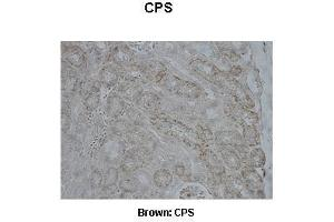 Image no. 1 for anti-Carbamoyl-Phosphate Synthase 1, Mitochondrial (CPS1) (Middle Region) antibody (ABIN2782319)