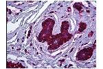 Immunohistochemistry (IHC) image for anti-Non-Muscle Myosin Heavy Polypeptide 9 (MYH9) antibody (ABIN782310)