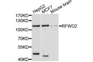 Image no. 1 for anti-Ring Finger and WD Repeat Domain 2, E3 Ubiquitin Protein Ligase (RFWD2) antibody (ABIN6146897)
