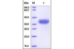 Image no. 1 for Angiopoietin-Like 4 (ANGPTL4) (AA 166-406) protein (His tag) (ABIN2180590)