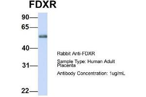 Image no. 2 for anti-Ferredoxin Reductase (FDXR) (Middle Region) antibody (ABIN2785841)
