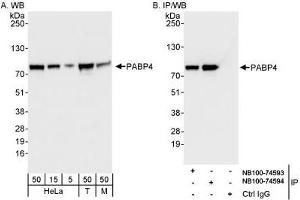 Western Blotting (WB) image for anti-Poly(A) Binding Protein, Cytoplasmic 4 (Inducible Form) (PABPC4) (AA 594-644) antibody (ABIN261671)