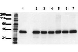 Western Blotting (WB) image for anti-Mitogen-Activated Protein Kinase 1 (MAPK1) (N-Term) antibody (ABIN126833)
