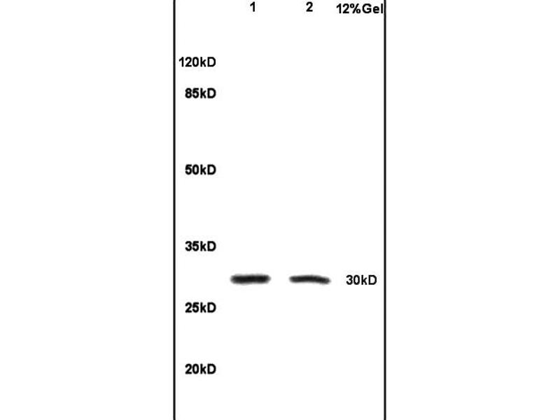SDS-PAGE (SDS) image for anti-IL1B antibody (Interleukin 1, beta) (AA 190-240) (ABIN872644)