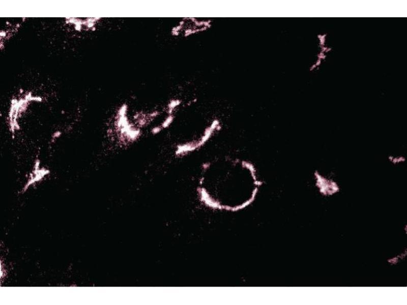 Immunofluorescence (IF) image for anti-Trans-Golgi Network Protein 2 (TGOLN2) (AA 31-244) antibody (ABIN968238)