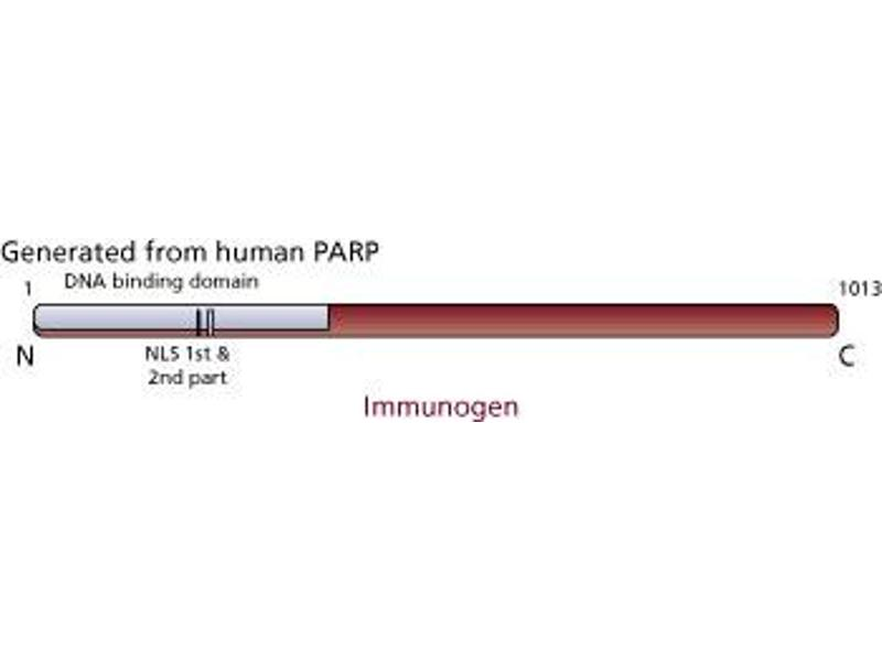image for anti-PARP antibody (full length) (ABIN967515)