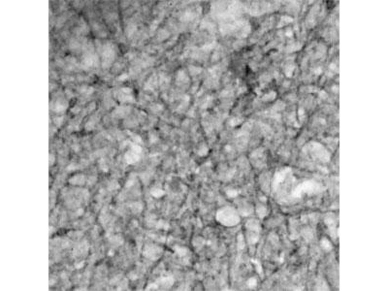 Image no. 1 for anti-Solute Carrier Family 17 (Vesicular Glutamate Transporter), Member 6 (SLC17A6) (AA 250-300) antibody (ABIN571638)