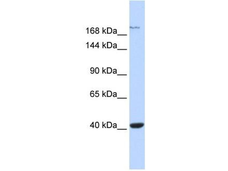 Western Blotting (WB) image for anti-Glutamate Receptor, Ionotropic, N-Methyl D-Aspartate 2a (GRIN2A) (Middle Region) antibody (ABIN2776120)