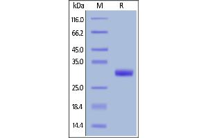 Image no. 1 for Butyrophilin, Subfamily 3, Member A2 (BTN3A2) (AA 30-248) protein (His tag,AVI tag,Biotin) (ABIN6386438)