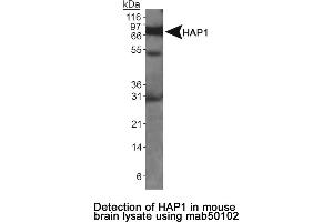 Image no. 1 for anti-Huntingtin Associated Protein 1 (HAP1) antibody (ABIN363256)