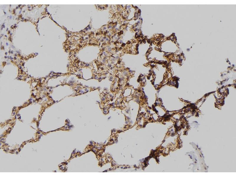 Image no. 1 for anti-Occludin (OCLN) (pTyr287) antibody (ABIN6269555)