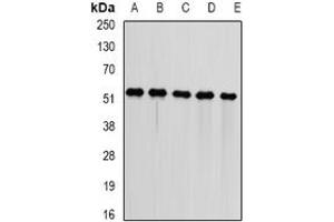 Image no. 1 for anti-DnaJ (Hsp40) Homolog, Subfamily A, Member 3 (DNAJA3) (full length) antibody (ABIN6005528)