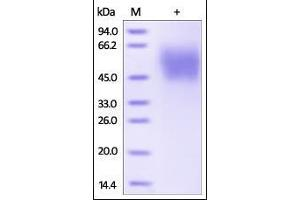 SDS-PAGE (SDS) image for MHC Class I Polypeptide-Related Sequence A (MICA) (AA 24-308) (Active) protein (His tag) (ABIN2181502)