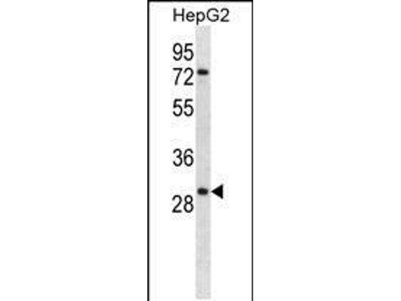 Image no. 1 for anti-Kallikrein 10 (KLK10) (AA 22-51), (N-Term) antibody (ABIN5531500)