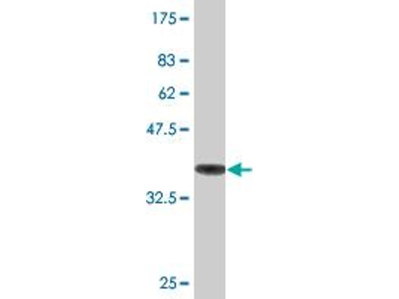 Western Blotting (WB) image for anti-Tubulin, alpha 1a (Tuba1a) (AA 352-452) antibody (ABIN395502)