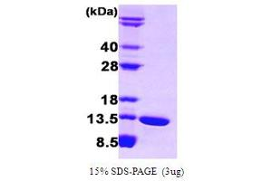 Image no. 1 for Fatty Acid Binding Protein 6, Ileal (FABP6) (AA 1-128) protein (ABIN667722)