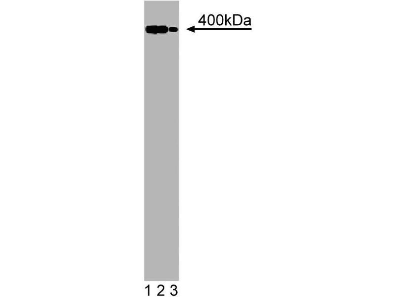 Western Blotting (WB) image for anti-Utrophin (UTRN) (AA 768-874) antibody (ABIN968237)
