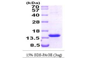 Image no. 1 for T-Cell Leukemia/lymphoma 1A (TCL1A) (AA 1-114) protein (ABIN666894)