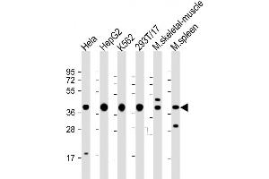 Image no. 2 for anti-Poly(rC) Binding Protein 1 (PCBP1) (AA 188-217), (Center) antibody (ABIN1538004)