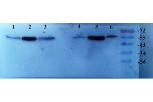Western Blotting (WB) image for anti-Transforming Growth Factor, beta 1 (TGFB1) (N-Term) antibody (ABIN2506704)