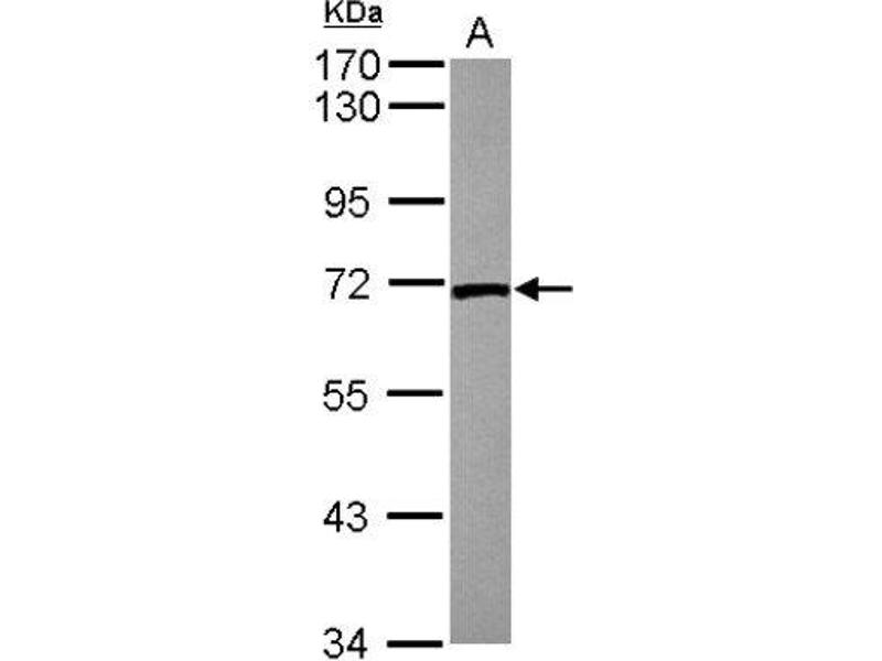 Western Blotting (WB) image for anti-Lamin B2 antibody (LMNB2) (Center) (ABIN4330077)