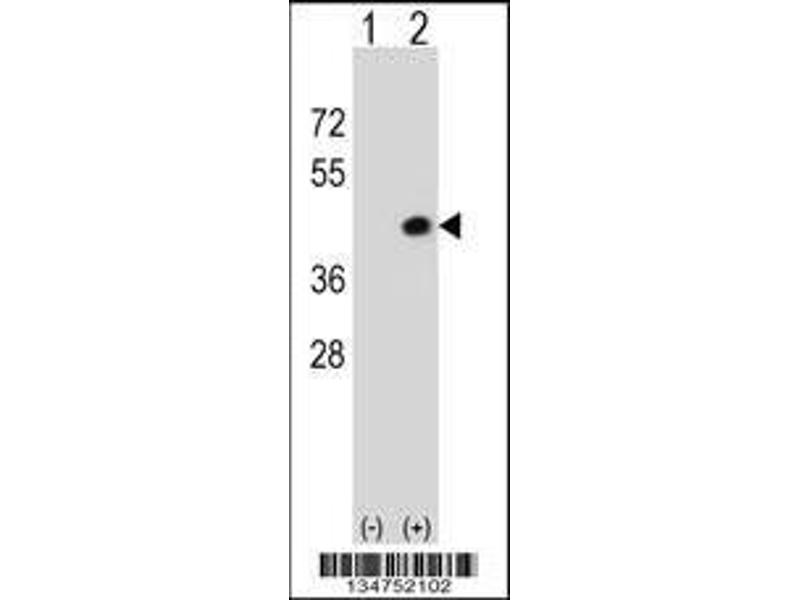 Western Blotting (WB) image for anti-DAPK2 antibody (Death-Associated Protein Kinase 2) (AA 38-65) (ABIN658632)