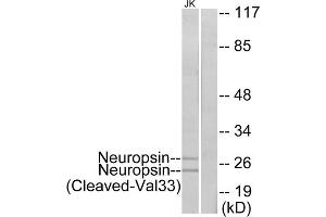 Image no. 1 for anti-Opsin 5 (OPN5) (Cleaved-Val33), (N-Term) antibody (ABIN1853604)