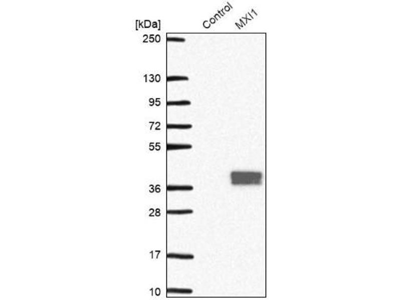 Western Blotting (WB) image for anti-MAX Interactor 1 (MXI1) antibody (ABIN4336867)