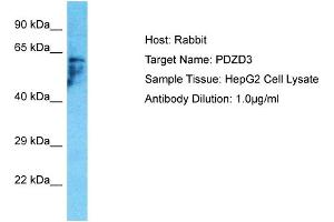 Image no. 1 for anti-PDZ Domain Containing 3 (PDZD3) (C-Term) antibody (ABIN2791850)