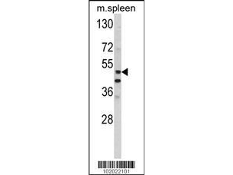 Western Blotting (WB) image for anti-Matrix Metallopeptidase 10 (Stromelysin 2) (MMP10) (AA 394-423), (C-Term) antibody (ABIN390134)