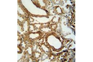 Immunohistochemistry (Paraffin-embedded Sections) (IHC (p)) image for anti-INSC antibody (Inscuteable Homolog (Drosophila)) (AA 416-445) (ABIN952909)
