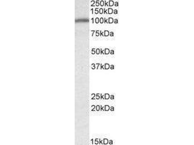 Western Blotting (WB) image for anti-Calnexin (CANX) (N-Term) antibody (ABIN451825)