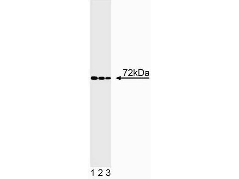 Western Blotting (WB) image for anti-ITK antibody (IL2-Inducible T-Cell Kinase) (AA 1-26) (ABIN967287)